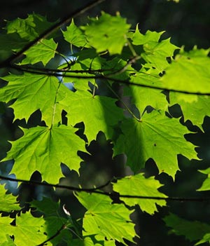Гороскоп Друидов Ваше дерево - 'Клен' 11 апреля - 20 апреля 14 октября - 23 октября.